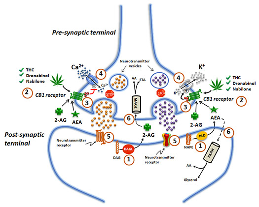Figure 1: The Endocannabinoid System in the Nervous System. Details are in the text following the image.