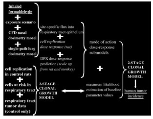 Figure 4 Roadmap for the human clonal growth model (reproduced from CIIT, 1999)