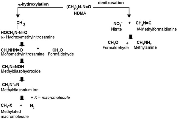 Figure 1 is a schematic outlining the two metabolic pathways involved in NDMA metabolism.